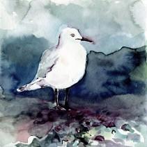 black-billed-gull COPYRIGHT ABBY MCBRIDE